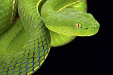 Fototapety Gumprecht's green pitviper (Trimeresurus gumprechti )