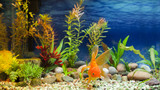 Aquarium Native Gold Fish - 94083800