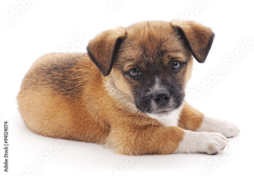 Poster, Tablou Small puppy.