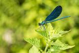 Open wings blue dragonfly macro