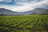 Spring Vineyard, Elqui Valley, Andes, Chile