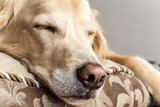 Sleeping Golden Retriever
