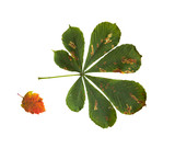 dry fallen chestnut tree leaf