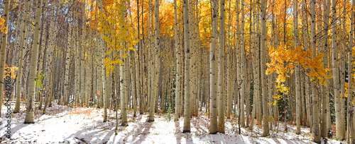 Colorful Aspen trees in snow at Kebler pass Colorado - 94216220