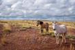 Obrazy na płótnie, fototapety, zdjęcia, fotoobrazy drukowane : Horses in a field