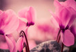 fresh pink flowers at abstract background