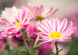 striped colorful flowers at abstract background