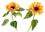 Fototapety Two watercolor sunflowers with green leaves on white background