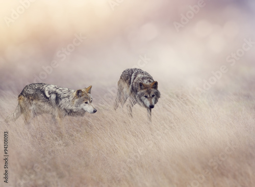 Two Wolves in Tall Grass Plakat