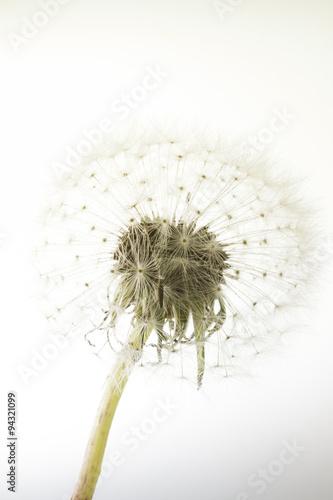 macro of an overblown fluffy dandelion - 94321099