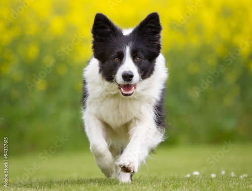 Fototapeta Happy and smiling Border Collie dog running