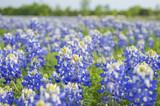 Texas Bluebonnets - Fine Art prints