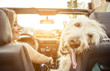 Woman and her labradoodle dog driving with the car