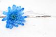 Blue chrysanthemum flower over white wooden background