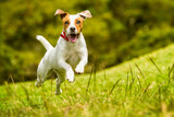 Jack Russell Parson Terrier Dog - 94431079