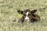 Brown and white calf lying in the grass