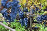 Merlot clusters in a vineyard during the vine harvesting in Bulgaria