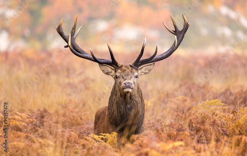 Large red deer stag walking towards the camera Poster