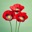 Three red poppies on trendy green background