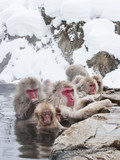 Snow monkeys (Japanese Macaques) in the onsen hot springs of Nagano,Japan.