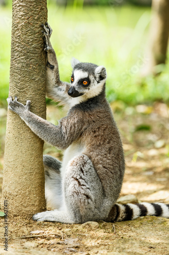 Poster Lovely ring-tailed lemur close up