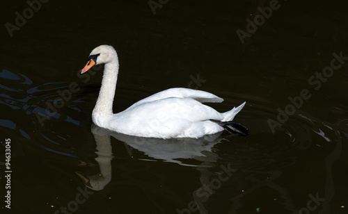 Fotobehang White swan with reflection swimming in a lake