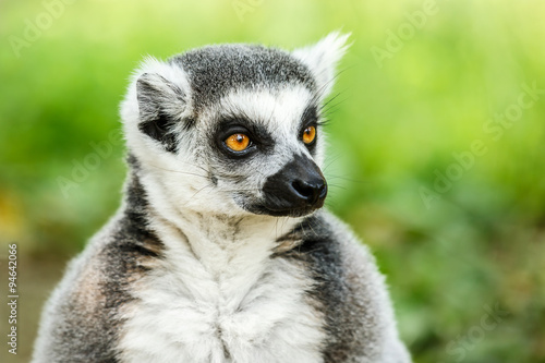 Lovely ring-tailed lemur face close up Poster