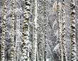 Winter birch trunks