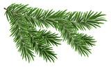 Green lush spruce branch. Fir branches - 94698699