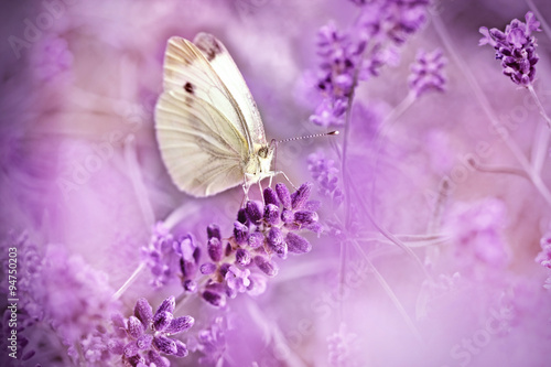 Butterfly on lavender - beautiful scene