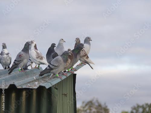 palomas / palomas posadas sobre tejado verde de metal con cielo nublado de fondo