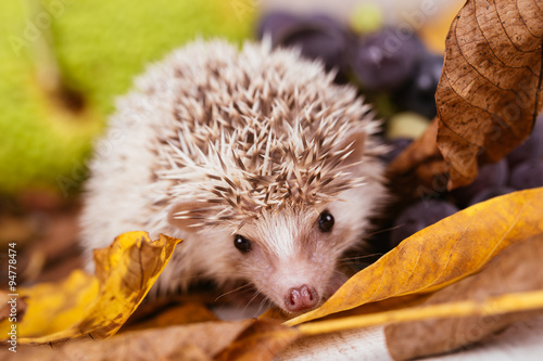 African pygmy hedgehog baby playing © tamara83