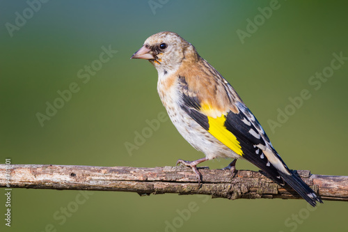 mata magnetyczna The young Goldfinch