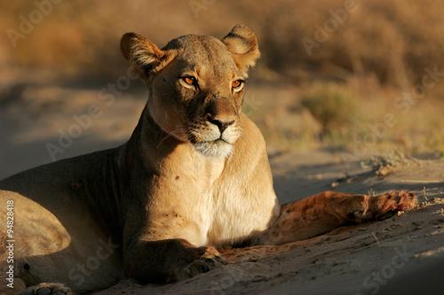 Fotobehang A lioness (Panthera leo) lying down in early morning light, Kalahari desert, South Africa.