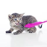 Gatito amenazando a pluma