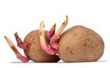 germinating potatoes on white
