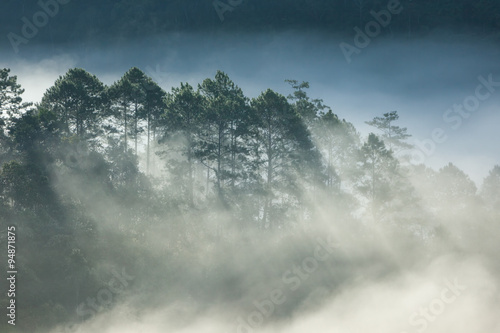Pine forest on high mountain - 94871875