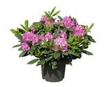 Rhododendron rose en pot - Fine Art prints