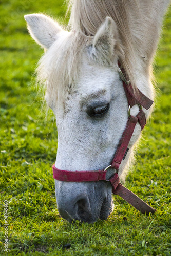 Papiers peints Hyène horse head is grazing in the pasture.