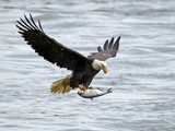 American Bald Eagle with Large Fish - 94980051