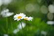 Beautiful Daisy Flowers Growing on Lawn in Summer