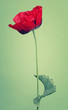 One red poppy flower on trendy green background