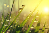 Fototapety Fresh grass with dew drops at sunrise. Nature Background