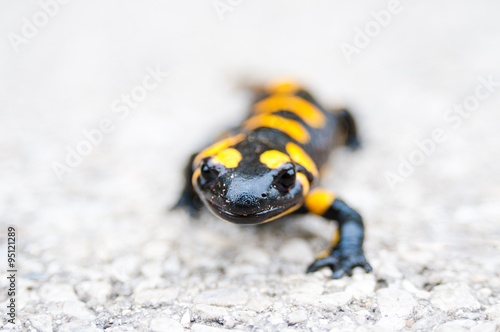 mata magnetyczna Black yellow spotted fire salamander