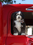 A cute black and white dog going for a ride in a big red truck.