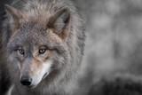 Grauer Wolf Portrait 4