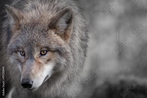 Grauer Wolf Portrait 4 Poster