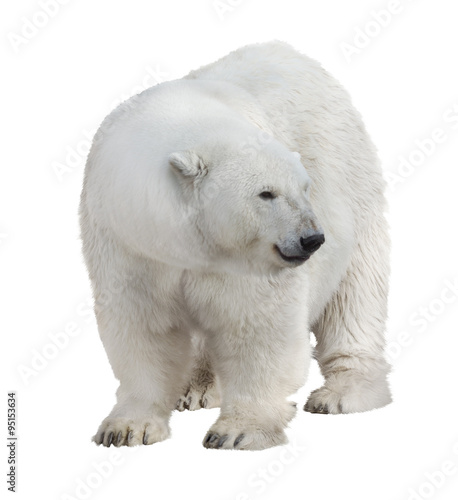 isolated on white large polar bear