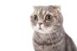Portrait of a surprised cat breed Scottish Fold..