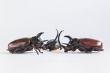 Uncommon and rare stuffing five horns beetles remains  on white background which beetle male normally have three horns and female have no horn